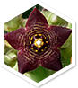 Caralluma MD ingredient 1